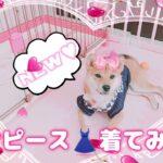 New♡ワンピースを着てみた柴犬 #柴犬 #sibainu  #시바견 2021.10.12